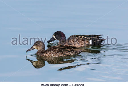 Blue-winged Teal, Anas discors, male and female swimming with water dripping from beaks in pond in Arizona USA - Stock Image