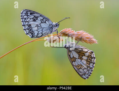 Butterfly couple - Stock Image
