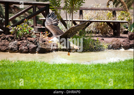 American bald eagle pouncing on target in water - Stock Image