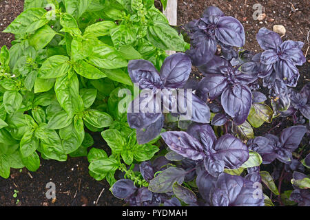 Close up of Italian sweet and purple Basil in a herb garden - Stock Image