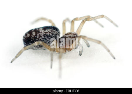 A female (Dictyna uncinata) spider on a white background. Part of the Family Dictynidae, meshweb weavers. - Stock Image