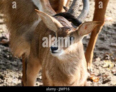 Newborn African Roan antelope calf (Hippotragus equinus). - Stock Image