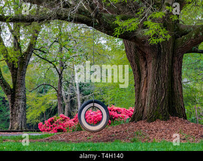 HICKORY, NC, USA-4/13/19: A tire swing suspended from a giant willow oak tree, with red azaleas in the background. - Stock Image
