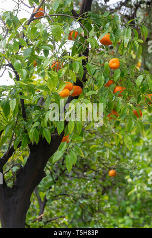 Ripe orange mandarine citrus fruit hanging on tree close up - Stock Image