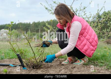 Mature woman in gloves pruning rose bushes with garden secateur, spring gardening. - Stock Image