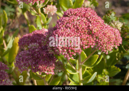 Stonecrop  (Sedum), Botanical garden, Additional-Rights-Clearance-Info-Not-Available - Stock Image