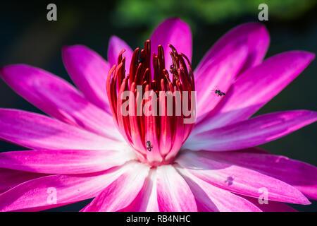 Lotus - Stock Image