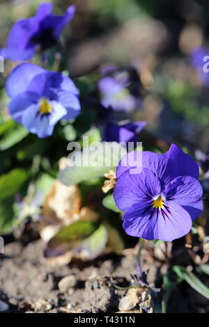 Plenty of pretty purple pansy flowers blooming. Photographed in Nyon, Switzerland during a beautiful sunny spring day. Lovely, detailed photo! - Stock Image