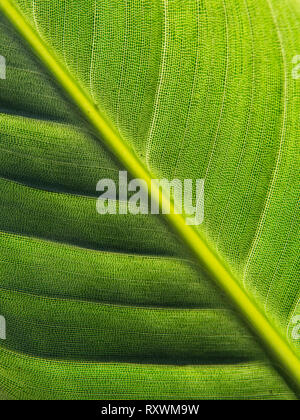 Close-up of the underside of a leaf of the Bird of paradise flower (Strelitzia) showing the intricate reticular pattern, - Stock Image