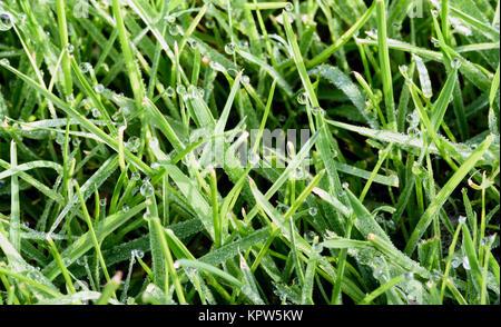Water droplets after a rain shower on fresh green garden grass - Stock Image