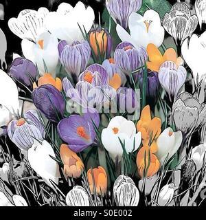 Purple yellow and white crocuses - Stock Image