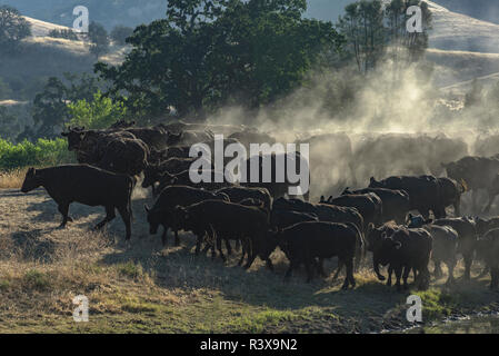 USA, California, Parkfield, V6 Ranch herd of black cows kicking up dust (MR) - Stock Image