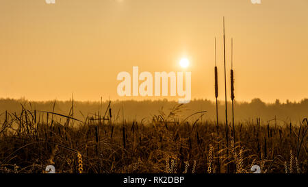 Broadleaf cattail silhouette at sunrise over a pond. Typha latifolia. Reed or water sausage. Rising sun in a golden landscape. Artistic scene. Swamp. - Stock Image