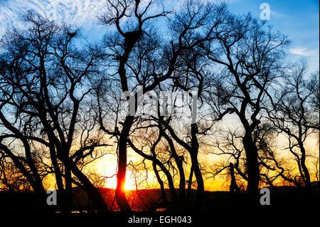 Sunset behind cottonwood trees at Lower Klamath Wildlife Refuge. - Stock Image
