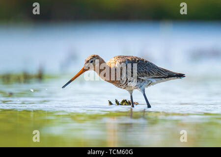Closeup of a black-tailed godwit Limosa Limosa wader bird foraging in water. Most of the European population breed in the Netherlands. - Stock Image