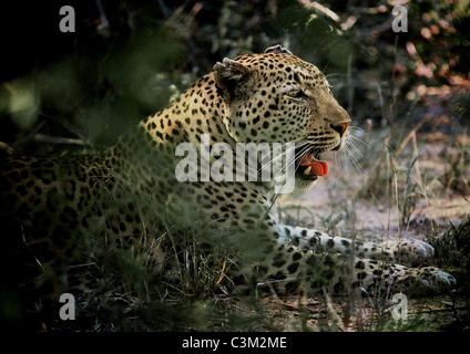 Leopard Panthera pardus Mala Mala Kruger South Africa - Stock Image