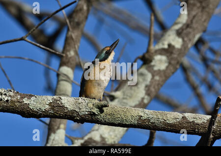An Australian, Queensland Immature Sacred Kingfisher ( Todiramphus sanctus ) perched on a tree branch looking up for predators - Stock Image