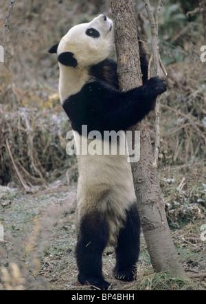 Giant panda about to climb tree in winter, Wolong, China, January - Stock Image