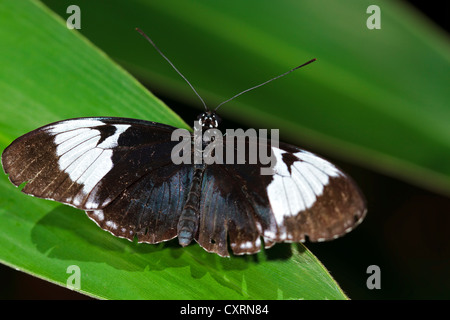 Cydno Longwing Butterfly - with wings open - Stock Image