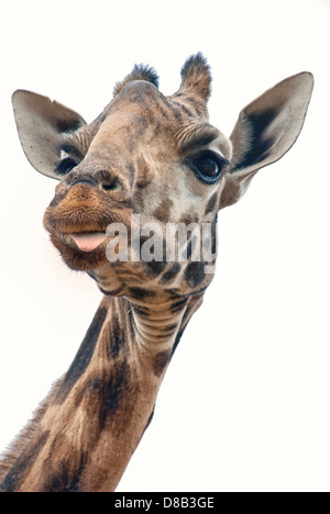 Head shot of a Rothschild Giraffe, with a bit of tongue sticking out, Kenya, Africa - Stock Image