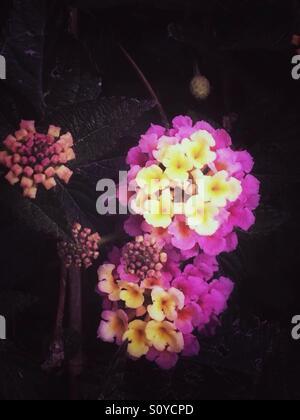 Yellow pink largeleaf lantana flowers - Stock Image