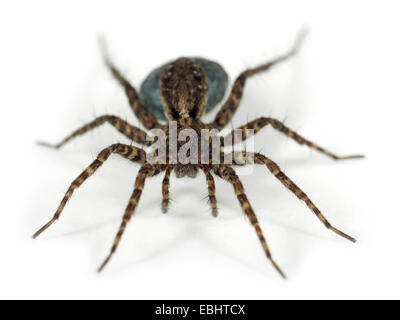 A Female Wolf spider (Pardosa amentata) on white background. Wolf spiders are part of the family Lycosidae. - Stock Image