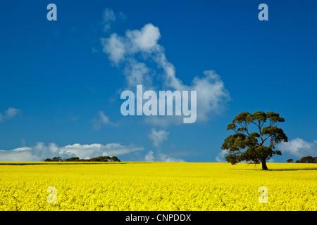 Canola crops Eyre Peninsula. South Australia. - Stock Image