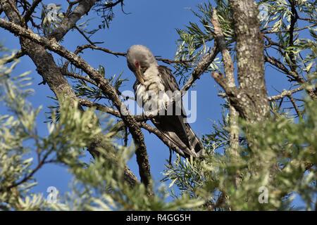 An Australian, Queensland Channel-billed Cuckoo ( Scythrops novaehollandiae ) perched on a tree branch preening itself - Stock Image