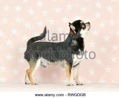 Chihuahua. Adult male (short-haired, tri-color, 1 year old) standing. Studio picture against a gray background, Germany - Stock Image