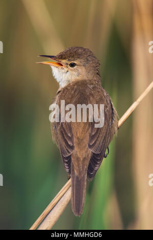 Common Reed Warbler (Acrocephalus scirpaceus) singing from a reed - Stock Image