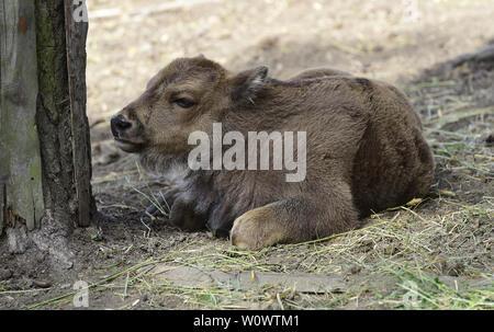 Olomouc, Czech Republic. 28th June, 2019. A calf of European bison (Bison bonasus) is seen in the Olomouc Zoo, Czech Republic, on June 28, 2019. Credit: Ludek Perina/CTK Photo/Alamy Live News - Stock Image