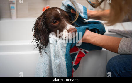 A young English Springer spaniel ( 11 months) gets a bath in family bathroom after a muddy walk. - Stock Image