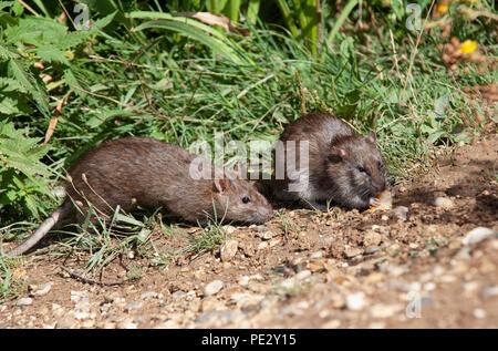 two Brown Rats, (Rattus norvegicus), Brent Reservoir, also known as Welsh Harp Reservoir, Brent, London, United Kingdom - Stock Image