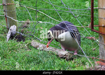 Yellow-eyed Penguin (Megadyptes antipodes) crossing a fence in the nature reserve (photo series 2 of 5) - Stock Image