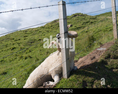 A ram who's horns have got caught on a wire fence that has died from exhaustion trying to free itself in vain. - Stock Image