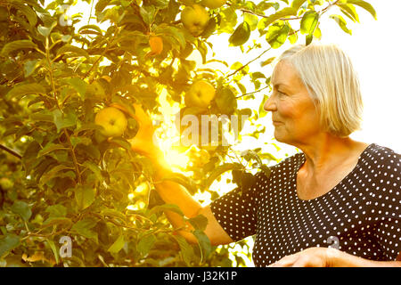 Senior woman picking apples of a tree in her garden yard in the golden light of a sunny summer afternoon, active - Stock Image