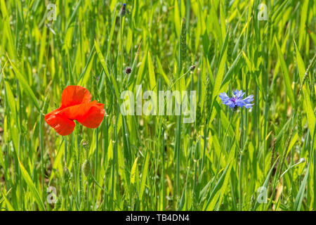 A red poppy and cornflower in sunlight in a wheat field in north east Italy. The cornflower is also known as bachelor's button, bluebottle, boutonnier - Stock Image