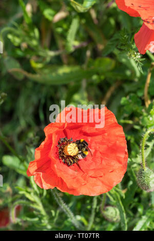 White tailed bumble bee collecting pollen from poppy - Stock Image