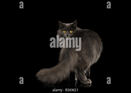 Furry Gray Cat Standing and Looking back, peeking from tail on Isolated Black Background - Stock Image