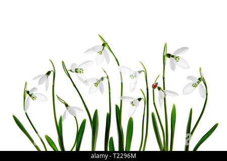 Ladybird on a spring white snowdrop flower, on a white background - Stock Image