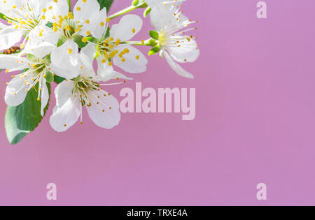 Violet paper blank and flowers of cherry tree on it. - Stock Image