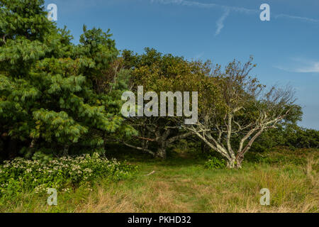 Grove of Trees On Gregory Bald in late summer - Stock Image