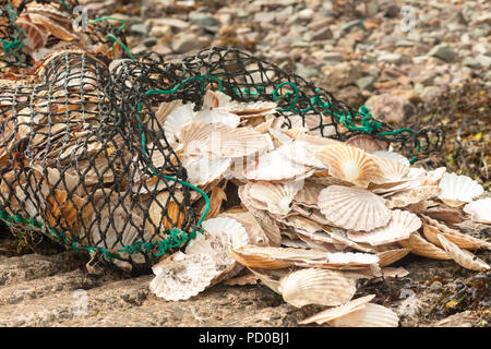 Clam shells discarded by commercial fishermen - Stock Image