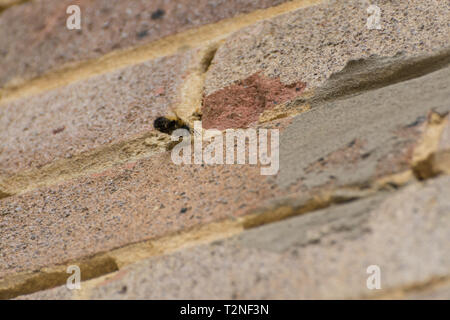Male hairy-footed flower bee (Anthophora plumipes) near a nest hole in the mortar between the bricks in the wall of a house - Stock Image