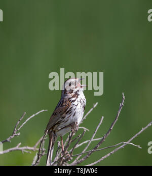 Song Sparrow - Stock Image