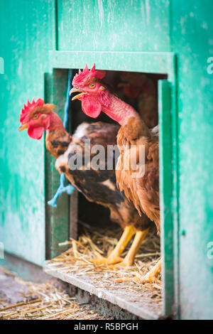 Organic chicken farming, Charente, France. - Stock Image