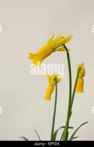 Narcissus cyclamineus (cyclamen-flowered daffodil) is a species of flowering plant in the family Amaryllidaceae, - Stock Image