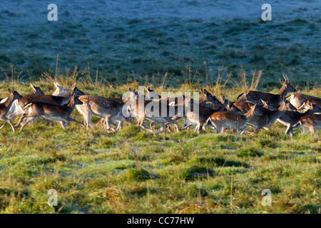 Fallow Deer (Dama dama), Herd of Young Animals and Hinds Running, Royal Deer Park, Klampenborg, Copenhagen, Sjaelland, - Stock Image