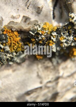 Lichen on tree - Stock Image