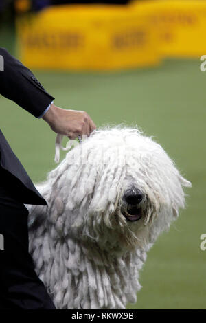 New York, USA. 12th Feb 2019. Westminster Dog Show - New York City, 12 February, 2019:  Addison, A Komondor awaits judging in the Working Group competition at the 143rd Annual Westminster Dog Show, Tuesday evening at Madison Square Garden in New York City. Credit: Adam Stoltman/Alamy Live News - Stock Image